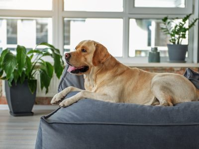 Side view nice dog lying on comfortable sofa in bright living room. Pet concept