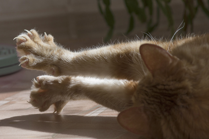 cat with claws extended declawing