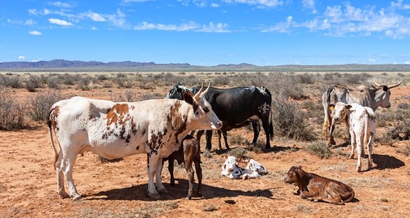Cattle in Africa